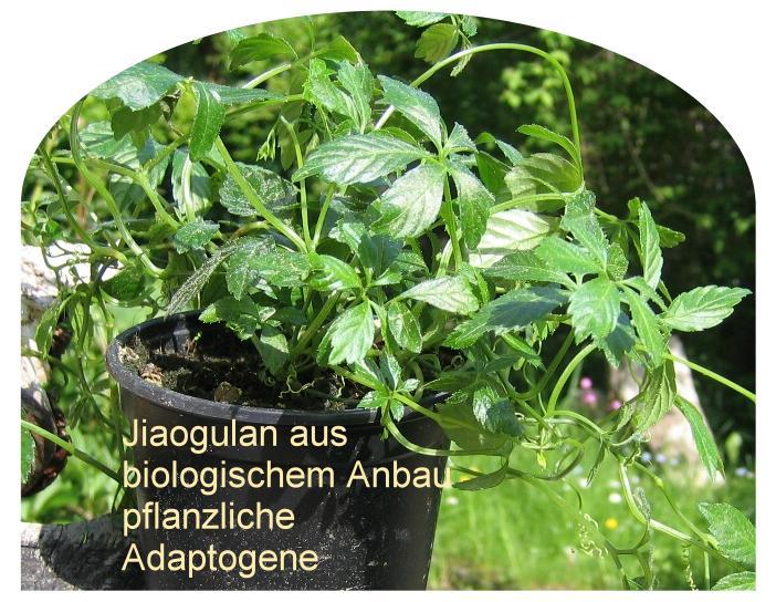 adaptogene Pflanzen-Jiaogulan