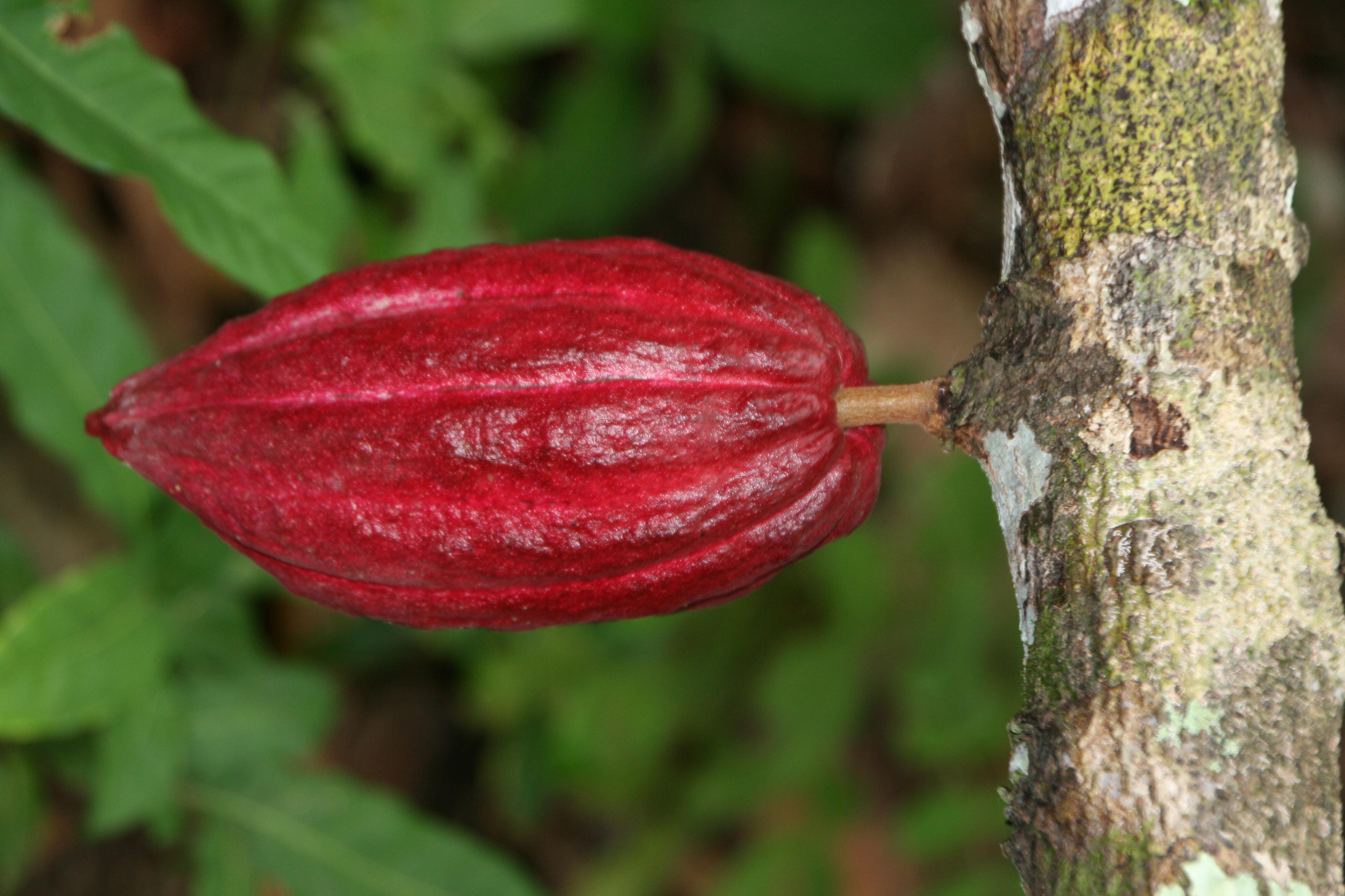 Bei Bluthochdruck Kakaobohnen als Antioxidant