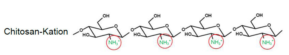 Polykation Chitosan. Die Struktur Chitosan Kation im Chitosan Gel