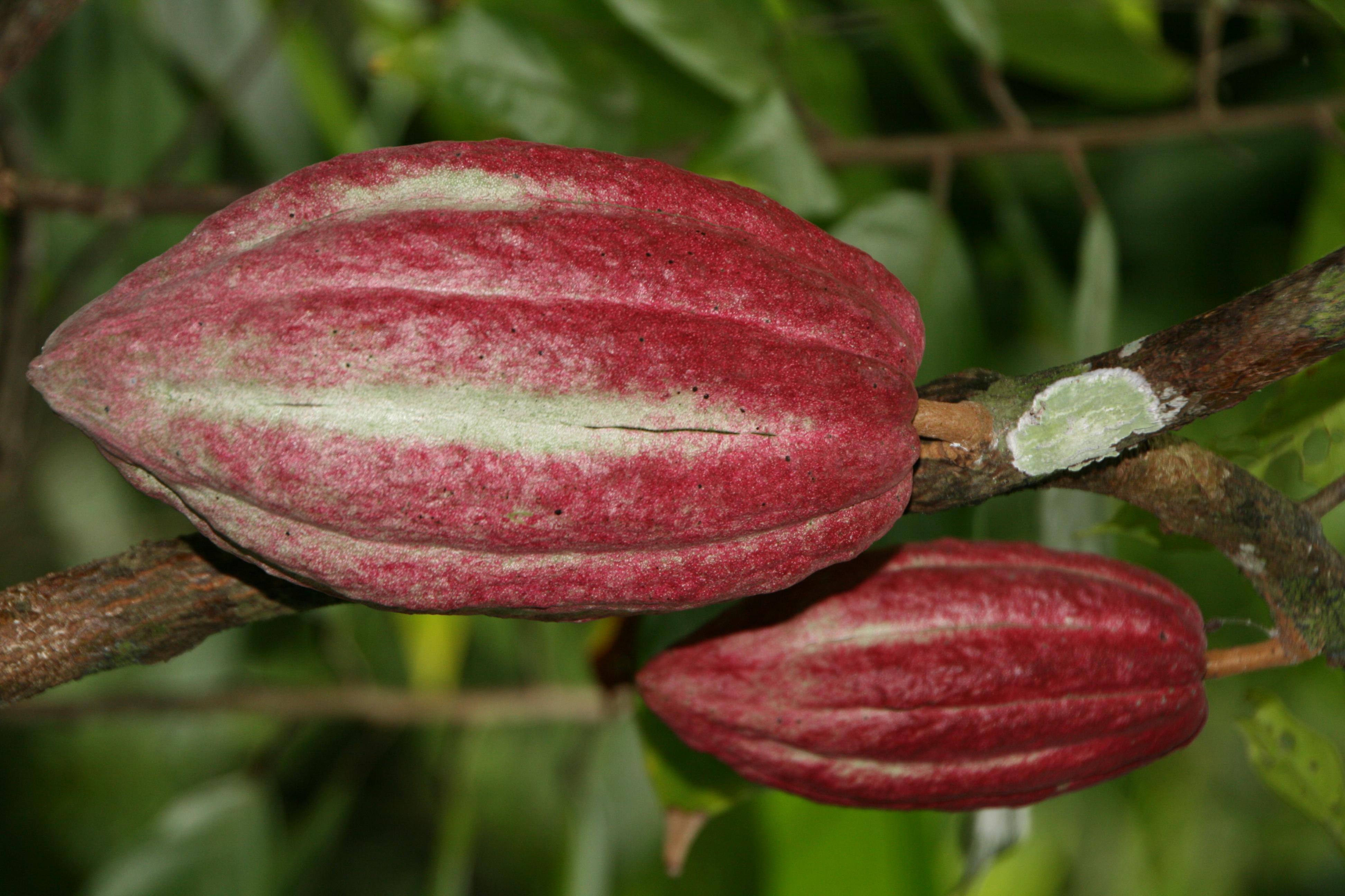 Schokolade mit erhaltenen Kkakaoflavonoiden